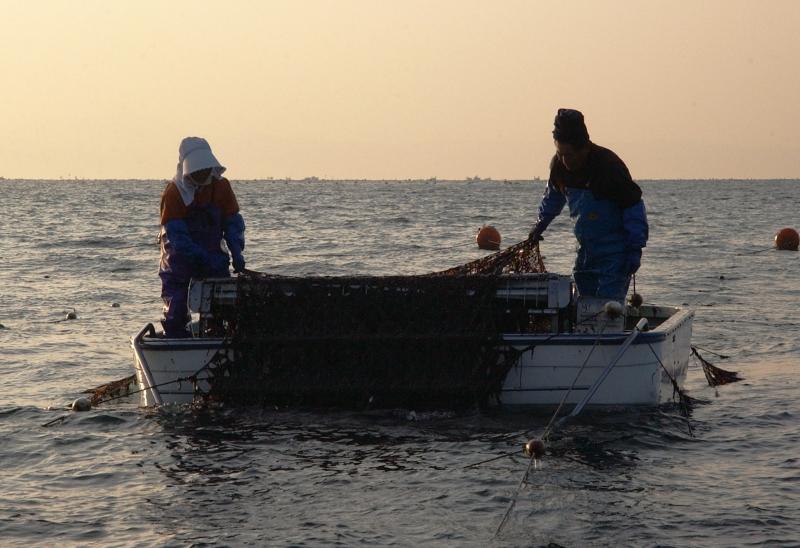 海苔の収穫の様子写真