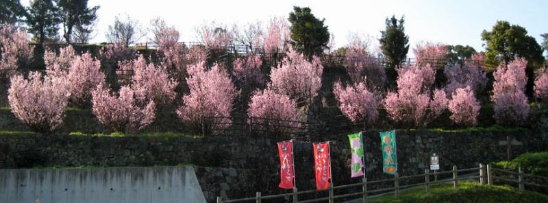 てんすい桜�